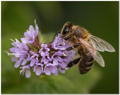 Wasp at work (Hugh Stanton) Tags: nature insects flowers flora