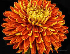 Orange and Yellow Chrysanthemum (AngelVibePhotography) Tags: mum chrysanthemum nikonp900 flower blossoms blossom garden nature photography blackbackground nikon yellow closeup flowers macro northcarolina outdoor colorful orange