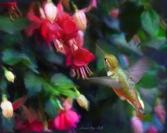 Fuchsia Feeding Rufous (done by deb) Tags: digitalart digitalpainting digitalbirdart hummingbird rufoushummingbird fuchsias