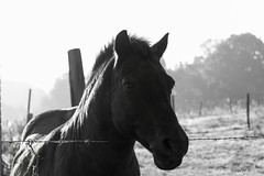 essai noir et blanc (rascal76160) Tags: horse noiretblanc cheval animal animaux ngc nationalgeographicgroup