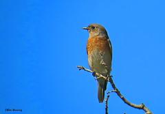 Female Western Bluebird (Ethan.Winning) Tags: western bluebird caliornia restoration profect ethanwinning