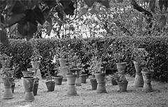 (frscspd) Tags: 75540019 20160719 pentax pentaxmx mx takumar takumar58mm 58mm ilford ilfordxp2 ilfordxp2400bw film filmgrain xp2 madrid realjardnbotnicodemadrid pots terracotta