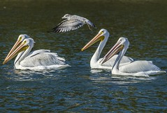 Fly-by (bassfisher365@att.net) Tags: lake oklahoma pelican pelicans gull seagull whitepelicans white migration feeding swimming flying flyby nikon birds