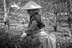 Tea Picker (DSC0782) (Schristia) Tags: teaplantation teapicker kebunteh lawang kebuntehwonosari wonosari wisataagrowonosari humaninterest labourwomen