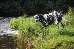 Angie (blumenbiene) Tags: hund dog hunde dogs hndin female dalmatiner dalmatian schwarz weis black white gassi spaziergang water river fluss wasser