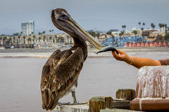 Just take the fish! (Photos By Clark) Tags: 70200 7002000mm beachshots california canon60d canon70200f28isl cities editforweb greatersandiegoarea locale location northamerica photoclubmonthlyoutings photoframe places sandiego sandiegogeneral subjects unitedstates where oceanside lightroom