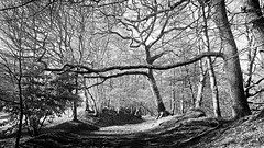 Riverbank Walk (monkeyiron) Tags: birnam rivertay riverbank perthshire woods
