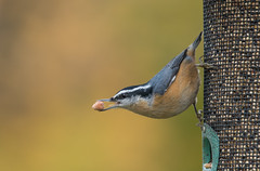 Birds-315.jpg ( Red Breasted Nuthatch) (luc_pic) Tags: 200500vr d500 nature birdfeeder nut bird redbreasted nuthatch