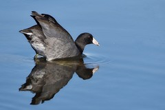 COOT BALLET (Lisa Plymell) Tags: nikond5300 nature water squawcreeknwr blue sigma150500 bird coot reflection