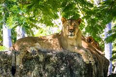 Lioness (chumako@bellsouth.net) Tags: zoomiami zoo lions predator mammal miami florida animals animal outdoor flickrbigcats