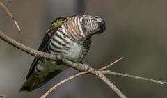 shining bronze-cuckoo (Chrysococcyx lucidus) -7052 (rawshorty) Tags: rawshorty birds canberra australia act campbell