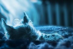 Yorki dream (T. Mt) Tags: yorkshire terrier dog dream blue sleep clouds moon puppy sweet mini
