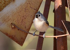Tufted Titmouse (JDA-Wildlife) Tags: birds nikon nikond7100 tamronsp150600mmf563divc jdawildlife johnny closeup portrait titmousetufted tuftedtitmouse