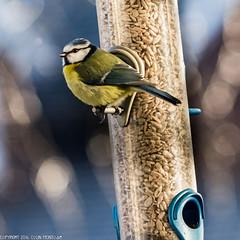 DSC_0586: Blue-tit (Colin McIntosh) Tags: britishbirds200mmf4 nikon d610 200mm f4 ais manual focus