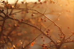 Si, sempre pi si. (SimonaPolp) Tags: fall foliage autumn berries berry sunset sun light december tree plant gold