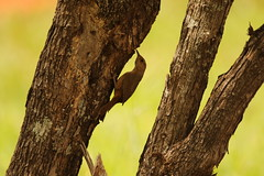 Troglodytes musculus (dhobern) Tags: brasilia federaldistrict brazil october 2016 aves passeriformes troglodytidae troglodytes musculus