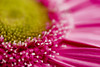 Life in Color (niKonJunKy22) Tags: macromondays itsalive pink daisy color colorful colors yellow petles flower flowers pollin pod pods hmm nikon 50mm macro d80 sigma focus blurry blur dof depthoffield depth nature outside outdoors outdoor close white bokeh smooth