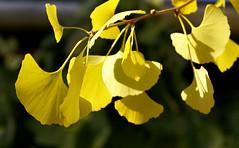 Ginkgo / Maidenhair tree (Ginkgo biloba) (HEN-Magonza) Tags: botanischergartenmainz mainzbotanicalgardens rheinlandpfalz rhinelandpalatinate deutschland germany herbst autumn ginkgobiloba flora natur nature