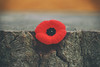 We Remember (A Great Capture) Tags: veterans wwi tribute iremember lestweforget symbol symbolic poppy november11th remembranceday canadianflags nature treestump naturelover proudcanadian november11 agreatcapture canoncanada instagood picoftheday torontophotographer remembranceday2016 veteransday inflandersfieldsthepoppiesblow agc wwwagreatcapturecom adjm toronto on ontario canada canadian photographer northamerica ash2276 ashleylduffus ald mobilejay jamesmitchell fall autumn automne herbst 2016 torontoexplore urban tree stump red rouge popy ig