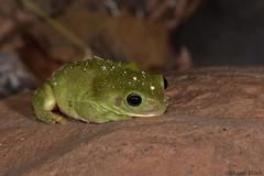 Green Tree Frog (Litoria caerulea) (shaneblackfnq) Tags: green tree frog litoria caerulea shaneblack amphibian whites waterhole water almaden fnq far north queensland australia tropics tropical dry arid bask rock warmth