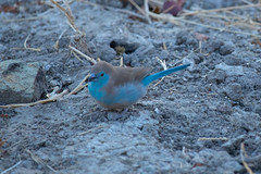 Blue waxbill (rhombitruncated) Tags: africa zambia safari2016 safari birdwalk 2016 bluewaxbill bird waterberrylodge