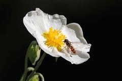 Visitatore (lincerosso) Tags: fiori flowers cistoafogliedisalvia cistussalviaefolius macchiamediterranea mediterraneo primavera colorebianco pronubi sirfidi bellezza armonia