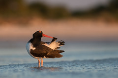American Oystercatcher (PeterBrannon) Tags: beach bird florida haematopus nature preening shorebird sunset surf wildlife americanoystercatcher catch ocean oystercatcher