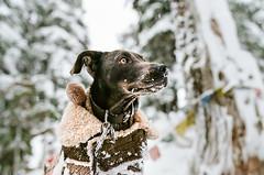 2016.11.27: Mt Baker & Larrabee (Danielle Bednarczyk) Tags: mtbaker mtbakerskiresort snow mountain mountains dog xoloitzcuintil wiemaraner xolo mexicanhairless mexicanhairlessmix xoloitzcuintlimix xoloitzcuintliwiemaranermix wiemaranerxoloitzcuintlimix rescuedog pet cute doginsnow snowdog outdoors nature travel adventure hike hiking camp camping wa washington pnw pacificnorthwest roadtrip wanderlust