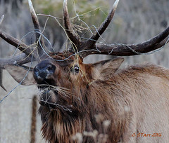 006 bull elk in rut (starc283) Tags: elk rut bullelk nature wildlife mountains mountain rockymountains starc283
