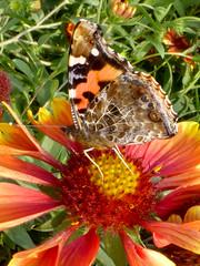 Vanessa indica indica (K. Zyskowski and Y. Bereshpolova) Tags: nymphalidae nymphalinae vanessa indica asian admiral china beijing butterfly lepidoptera