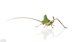 Katydid (ggallice) Tags: katydid tettigoniidae camofluage protectiveresemblance insect amazonrainforest rainforest entomology losamigosbiologicalstation madrededios peru amazon southamerica