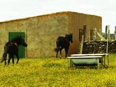 ; (nereacereza) Tags: caballos salamanca pueblo hierba colores correr animal flores pedrosillodelosaires vida alegra aire viento belleza