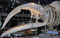 Eubalaena glacialis (North Atlantic right whale) 9 (James St. John) Tags: eubalaena glacialis north atlantic right northern whale whales mysticeti mysticete mysticetes cetacea mammal mammals skeletons cetacean cetaceans skeleton