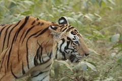 Munna gives her first shot (Chandrasekhar Bhattacharya) Tags: tiger kanha forest kisli jungle royalbengaltiger