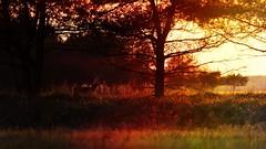 *** (pszcz9) Tags: polska poland przyroda nature natura pejzaż landscape zachódsłońca sunset sarna roe drzewo tree wiosna spring beautifulearth sony a77