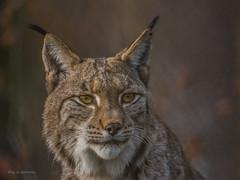 Luchs - Kater (wernerlohmanns) Tags: raubtiere katzen groskatzen fleischfresser gefhrlich nikond7200 sigma150600c zoo duisburgerzoo