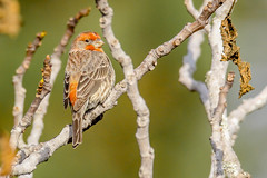 House Finch (backyardzoo) Tags: bird finch house