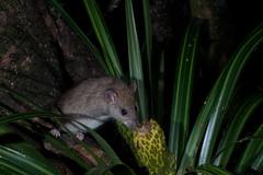 Rat (Rattus rattus) and Kiekie (Freyicinetia banksii) (Nga Manu Images NZ) Tags: fscientificnames feeding freycinetiabanksii kiekie mammals plants plantsandfungi rattusrattus shiprat