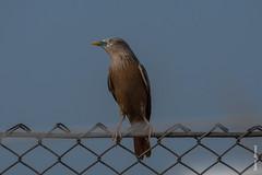 _DSC2983 (selim.ahmed) Tags: birds bangladesh uttora uttara dhaka smallbirds