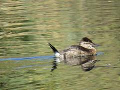 Ruddy Duck - Arizona by SpeedyJR (SpeedyJR) Tags: 2016janicerodriguez sweetwaterwetlands tucsonaz ruddyduck ducks birds wildlife nature tucsonarizona arizona speedyjr