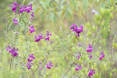 Flowers (Laura Erickson) Tags: africa plants volcanoesgahingasafarilodge flowers places uganda cultivated