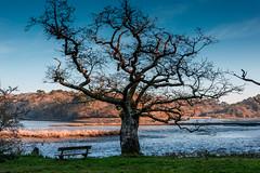"LE -BAOBAB- BRETON /""BRETON BAOBAB"" (brijjour) Tags: tree arbre breton paysage morbihan bretagne nature landscape extrieur calme zen vieilarbre"