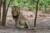 Löwe / Lion (brainstorm1984) Tags: mähne moremiwildreservat safari moremigamereserve desertdeltasafaris lion pantheraleo botswana wildlife wildfelinephotography campmoremi mane okavangodelta big5 löwe bigfive northwestdistrict botsuana bw