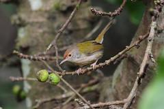 Common Tailorbird 2016 (Gomen S) Tags: bird animal wildlife nature mountain hk hongkong china asia tropical 2016 winter morning 80400mm d7100 nikon