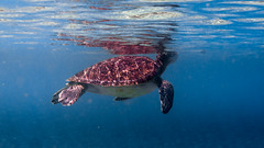 IMG_1174 (christophecavelli) Tags: scale turtle reptil scuba diving ocean
