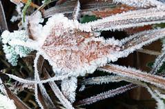 IJskoud Explore 20161205 (Olga and Peter) Tags: ijskoud icecold rijp frost blad leaf fp1130665