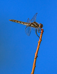 Here I Am (http://fineartamerica.com/profiles/robert-bales.ht) Tags: animals dragonfly forupload haybales people photo projects wildlife nature dragon biology environment fragility transparent beauty fly entomology insect wing bug animal damselfly isolated wings flies insects aeshna aeshnidae invertebrates odonata swamp eyes dragonflies macro closeup ophiogomphus single anisoptera insectphotography awesome magnificent peaceful surreal sublime magical spiritual inspiring inspirational canonshooter wow robertbales iphone