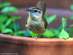 I'm Closer But Still Can't Figure It Out (Kaptured by Kala) Tags: thryothorusludovicianus carolinawren wren garlandtexas flowerpot container curious closeup