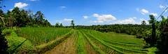 Arrozales de Blimbing (fns-k) Tags: agricultura arroz asia bali campo campos cereales espaa europa gusto indonesia islasbaleares mallorca panormica sentidos