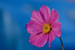 My World! (ineedathis,The older I get the more fun I have....) Tags: pink cosmos bokeh bluetarp flower petals yellow blue garden nature autumn nikond750 stem plant